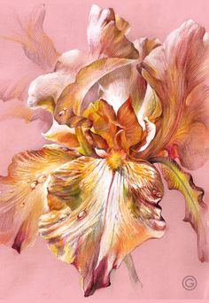 """Pink Iris"" (colored pencils, A3, 2015) by Oksana Oxy Gen Gatalskaya draw#pensil#colored"