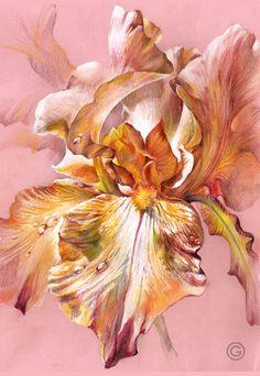 """Pink Iris"" (colored pencils, A3, 2015) by Oksana Oxy Gen Gatalskaya draw#pensil#colored"