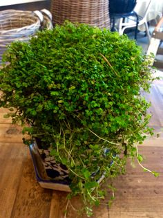 Baby Tears  Beautiful light green leaves form a mounding mass for ground cover or as an indoor plant  $12