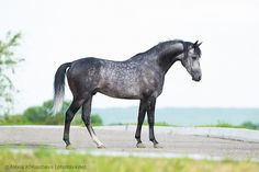 dapple grey - Arabian stallion Dubai Heros