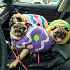 PUG eggs Hahahaha @cass