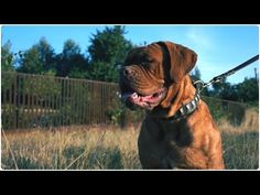 "Dogue de Bordeaux walking in ""Necklace"" Leather Dog Collar Decorated with Brass Blocks Leather Dog Collars, Walking, Brass, Dogs, Animals, Beautiful, Decor, Dogue De Bordeaux, Jogging"