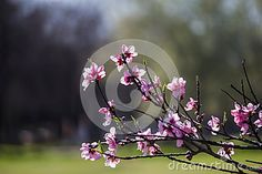 Branch with pink blossoms peach flowers