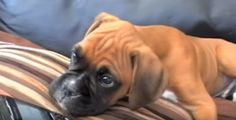"""Dogs are the cutest when they show human emotions and also facial expressions. This makes them a lot more adorable and charming. It's not surprising why pet lovers genuinely have a heart for these animals. Watch and see the hilarious confused reaction of """"Harvey"""" aBoxer Puppy as hewonders where his 'mommy's' voice is coming from. …"""
