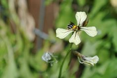 Wildbiene in Rucola.