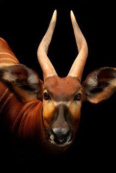 Beautiful bongo portrait.