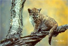 Cougar Kitten 103 by Wayne Lynch ©