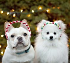 White French Bulldog and Pomeranian Besties❤️❤️.