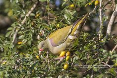 African Green Pigeon snacking on 'wild figs' Kruger National Park, National Parks, Green Pigeon, Figs, Wildlife, African, Nature, Animals, Naturaleza