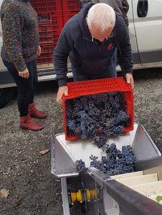 Les apprentis vignerons vident leur récolte dans l'égrappoir - Journée Vendanges Château de la Bonnelière #GourmetOdyssey
