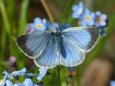 Mariposa Celastrina Argiolus               Grecia