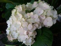 My white large hydrangea ♡