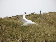 Albatros hurleur - Oiseaux - Frawsy