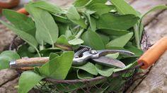 Letný bylinkový seriál: Vyskúšajte tipy, ako zúžitkovať šalviu Nordic Interior, Korn, Pruning Shears, Garden Tools, Plant Leaves, Health, Plants, Ideas, Health Care
