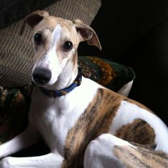 If there's ever another dog in my life, I want it to be a whippet! I miss mine... this picture reminds me of Cory.