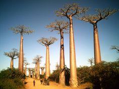 Google Image Result for http://kontraplan.com/site/wp-content/uploads/2011/12/boabab-trees-madagascar1.jpg