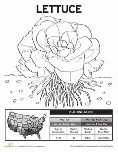 Try planting your own lettuce plants with this helpful gardening sheet that doubles as a coloring page!
