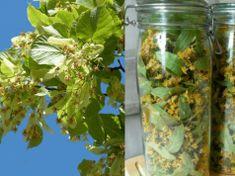 Recept na sirup z lipového květu: Natrhejte ho včas a udělejte si zásobu přírodního léku pro zdravé srdce a proti chorobám na celý rok!