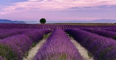 Lavender Meadows, Tihany, Lake balaton, Hungary, Europe