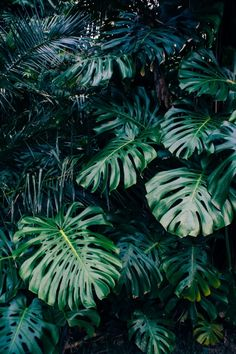 Monstera - Another! Palm Tree Plant, Trees To Plant, Plant Leaves, Monstera Leaves, Dark Green Aesthetic, Plant Aesthetic, Aesthetic Collage, Nature Plants, Foliage Plants