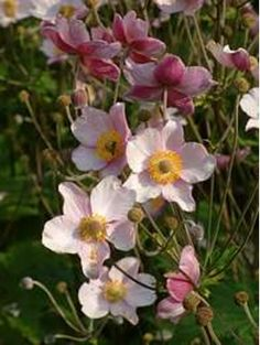 Anemone tomentosa Shade Plants, Shade Garden, Pale Pink, Perennials, Flowers, Medium, Shadow Plants, Royal Icing Flowers, Flower