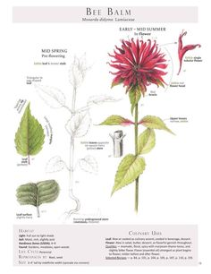 Bee Balm // This American native wild flower, also known as Bergamot, is a culinary delight. Sprinkle her edible, aromatic, deep red flowers into salads, butter, and as a flavorful garnish throughout. Be sure to pull out the single tubular flowers from the flower head before adding to a dish // from Foraging + Feasting: A Field Guide and Wild Food Cookbook by Dina Falconi