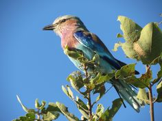 lilac-breasted roller in Botswana - moo card of my own photo