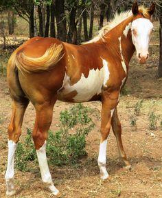 """Diega"" Diamond Indian Graca (NRBC NRHA) overo paint horse filly"