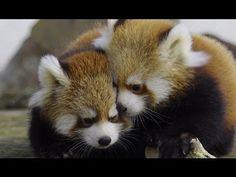 はじめましてレッサーパンダの赤ちゃん~Red Panda Baby debut - YouTube