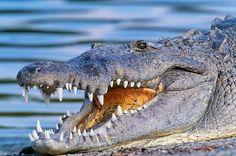 Miami Everglades Safari Park Airboat Adventure with Transport Everglades Airboat, Miami Beach, Miami Florida, South Beach, Florida Tourist Attractions, Airboat Rides, Moving To Florida, Tours, Crocodiles