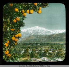 Mount San Gorgonio: distant view, over the orange groves of Redlands Valley :: Branson DeCou Digital Archive California History, California Dreamin', Beaumont California, Upland California, San Bernardino California, San Bernardino County, Redlands California, Orange Grove, Album