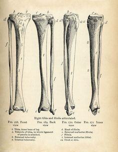 Vintage Anatomy Clip Art – Bones & Skull –  Printable pdf's for Halloween