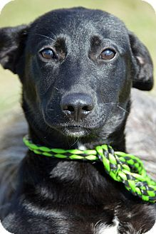 Glastonbury, CT - Schipperke/Shepherd (Unknown Type) Mix. Meet Estella a Dog for Adoption.