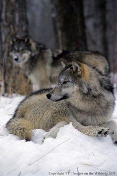 Gray Wolf, photo by Denver Bryan