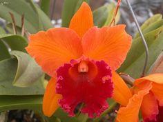 Orchid Cattleya. Blc. Linda Fisk Casey *Comm Pot 3 Plants