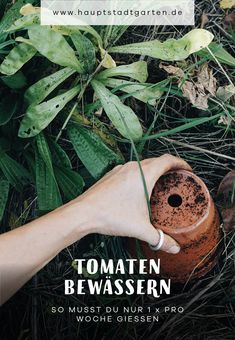 DIY Idee, wie Due eine Bewässerung für Tomaten im Freiland, Tomatenhaus oder Gewächshaus basteln und selber machen kannst. Dazu kannst Du alte Blumentöpfe mit Upcycling verwenden und zum Zero Waste Gärtner werden. Das spart Wasser und Zeit beim gießen, ist günstig und ideal für den Nutzgarten, Gemüsegarten, Hausgarten, Schrebergarten, Vorgarten und sogar für den Balkon.