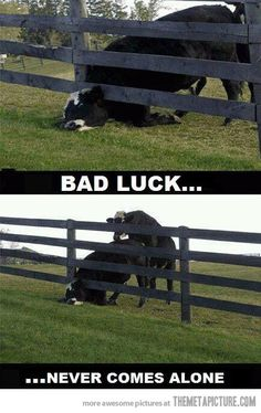 funny cow fence bull