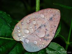 close-up-view-rain-drops-fallen-eucalyptus-leaf-garden