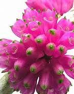 Macro of Dendrobium purpureum