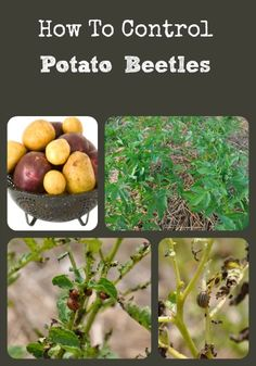 Simple organic ways to rid your garden of those nasty potato beetles - they can totally destroy your potatoes, tomatoes, eggplants, and peppers in no time!