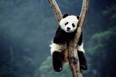 Pandas are funny, pandas are cute, i wish panda was a type of fruit. (not really, i wouldn't eat pandas. Baby Animals, Funny Animals, Cute Animals, Tired Animals, Animal Fun, Forest Tumblr, Beautiful Creatures, Animals Beautiful, Photo Panda