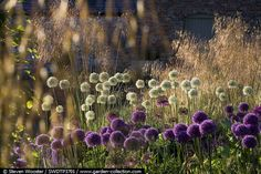 Stunning early summer border of Allium hollandicum Purple Sensation Globemaster and Everest with Stipa gigantea - Tichborne grass garden story
