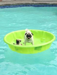 I spoiled Wilbur and Oilve today with their very own pool! Here they are enjoying their pool within a pool... Spoiled pugs.