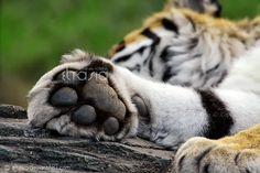 The tiger's paw by Eltasia.deviantart.com on @deviantART