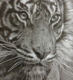 Wildlife art pencil drawings by artist Julie Rhodes. Hyper realism, fine art graphite drawings of big cats, lions tigers and wildlife, prints and originals Amazing Drawings, Realistic Drawings, Cool Drawings, Tiger Drawing, Tiger Painting, Pencil Drawings Of Animals, Drawing Animals, Wildlife Art, Pencil Drawings
