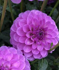 Unique Flowers, Vintage Flowers, Beautiful Flowers, Dahlia Flowers, Dahlias, Garden Landscaping, House Plants, Landscape, Spring