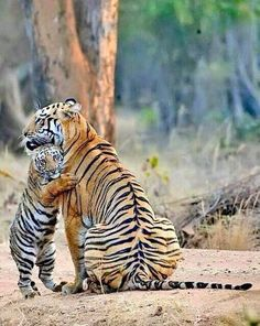 Mommy and baby tiger