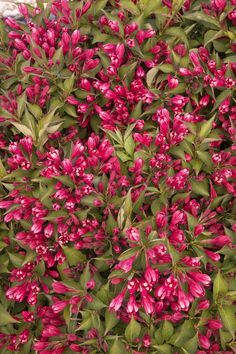 Crimson Kisses™ Weigela is a new, more compact reblooming weigela with a tidy, rounded shape covered with bright, lipstick-red flowers kissed with a white eye. This versatile shrub is a colorful choice to back a flower border or to feature in front of larger shrubs. Deciduous. Zones 4-9