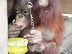 IAR to set up 2nd rescue attempt of Ujil the orangutan after first failed as owner became very aggressive and threatened to kill animal and IAR team