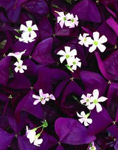 Oxalis triangularis -kolmiokäenkaali - Best in shade as front-of-bed edging or ringing a shade shrub such as hydrangeas or rhododendrons. Also nice in a shady flower pot. Companion plants: Under Ferns, Cimicifuga or Variegated Solomon's Seal. Garden Shrubs, Shade Garden, Lawn And Garden, Garden Plants, House Plants, Purple Garden, Flowering Plants, Foliage Plants, Fruit Garden